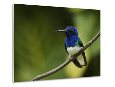 Male White-Necked Jacobin Hummingbird Perched on a Twig-Tim Laman-Metal Print