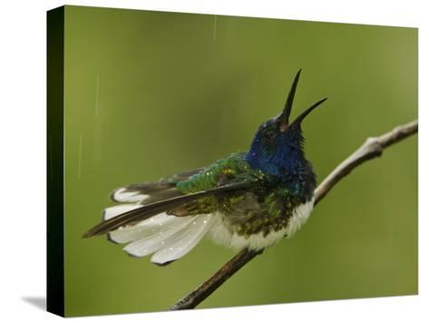 Male White-Necked Jacobin Hummingbird on a Twig in a Rain Shower-Tim Laman-Stretched Canvas Print
