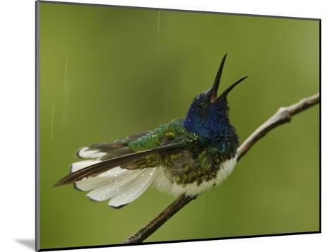 Male White-Necked Jacobin Hummingbird on a Twig in a Rain Shower-Tim Laman-Mounted Photographic Print