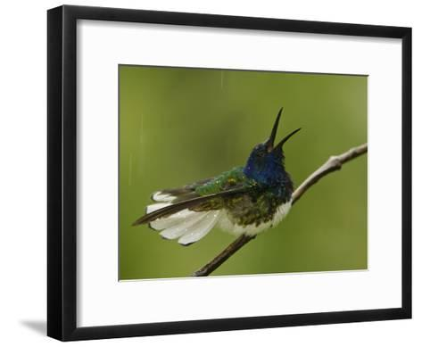 Male White-Necked Jacobin Hummingbird on a Twig in a Rain Shower-Tim Laman-Framed Art Print