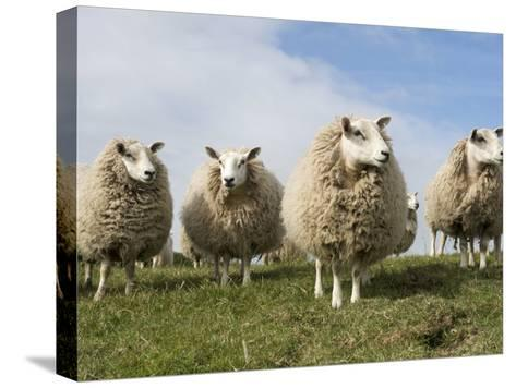 Grazing Sheep in Front of the Lindisfarne Priory-Keenpress-Stretched Canvas Print