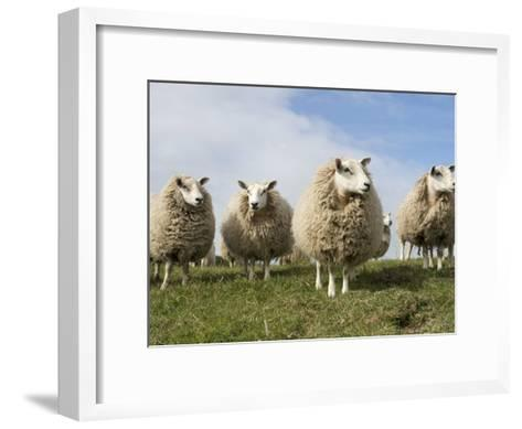 Grazing Sheep in Front of the Lindisfarne Priory-Keenpress-Framed Art Print