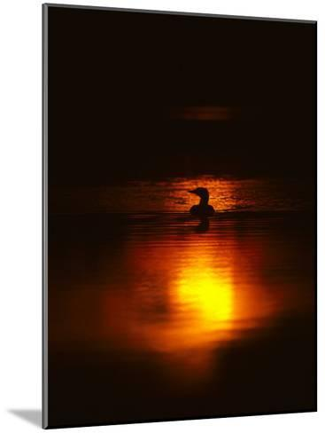 Common Loon Floats on a Lake in New York at Sunset-Michael S^ Quinton-Mounted Photographic Print