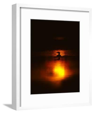 Common Loon Floats on a Lake in New York at Sunset-Michael S^ Quinton-Framed Art Print