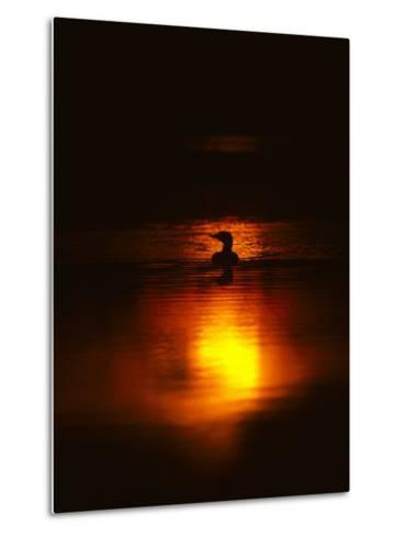 Common Loon Floats on a Lake in New York at Sunset-Michael S^ Quinton-Metal Print