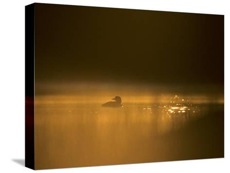 Common Loon, Wyoming-Michael S^ Quinton-Stretched Canvas Print
