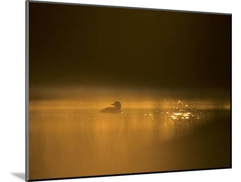Common Loon, Wyoming-Michael S^ Quinton-Mounted Photographic Print