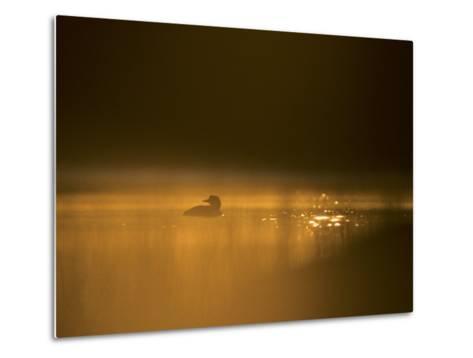 Common Loon, Wyoming-Michael S^ Quinton-Metal Print