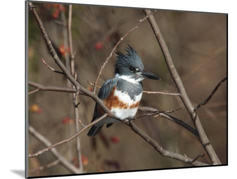 Female Belted Kingfisher Perched on a Branch over Water-George Grall-Mounted Photographic Print