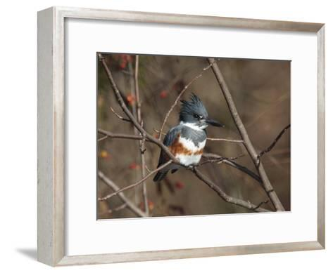 Female Belted Kingfisher Perched on a Branch over Water-George Grall-Framed Art Print