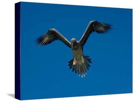 Juvenile Red-Footed Booby, Sula Sula, in Flight in a Clear Blue Sky-Beverly Joubert-Stretched Canvas Print