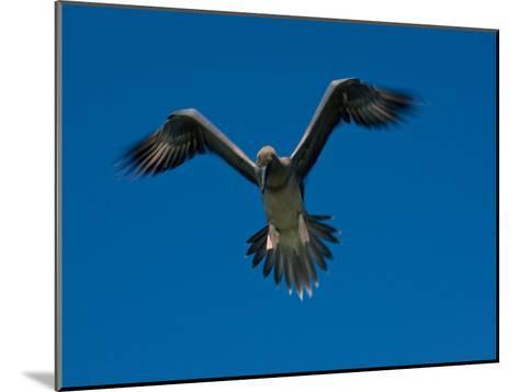 Juvenile Red-Footed Booby, Sula Sula, in Flight in a Clear Blue Sky-Beverly Joubert-Mounted Photographic Print