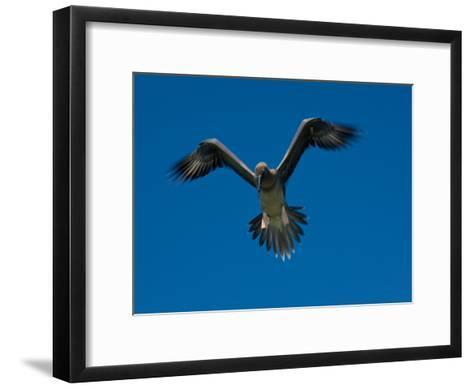 Juvenile Red-Footed Booby, Sula Sula, in Flight in a Clear Blue Sky-Beverly Joubert-Framed Art Print