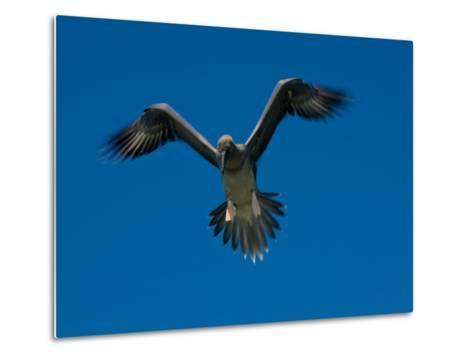 Juvenile Red-Footed Booby, Sula Sula, in Flight in a Clear Blue Sky-Beverly Joubert-Metal Print