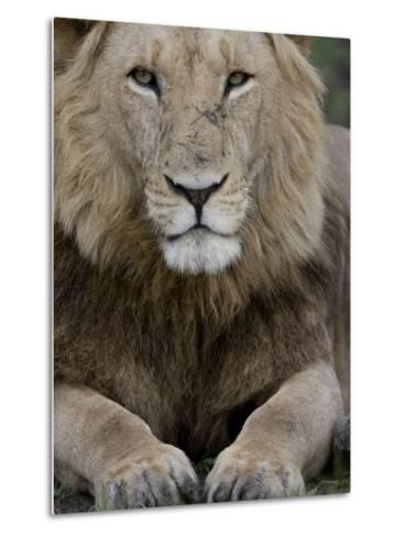 Portrait of a Scar Faced African Male Lion-Michael Polzia-Metal Print