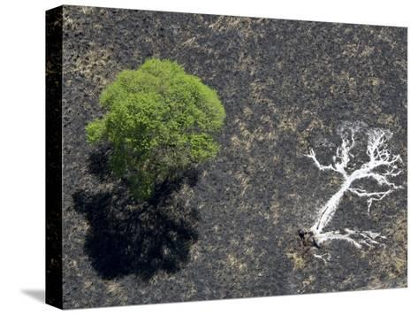 Ashes of a Burned Tree and a Live Standing One: Life and Death-Michael Polzia-Stretched Canvas Print