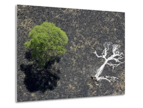 Ashes of a Burned Tree and a Live Standing One: Life and Death-Michael Polzia-Metal Print