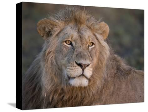 Portrait of a Scar Faced African Male Lion-Michael Polzia-Stretched Canvas Print