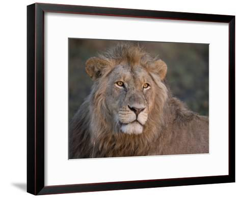 Portrait of a Scar Faced African Male Lion-Michael Polzia-Framed Art Print