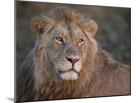 Portrait of a Scar Faced African Male Lion-Michael Polzia-Mounted Photographic Print