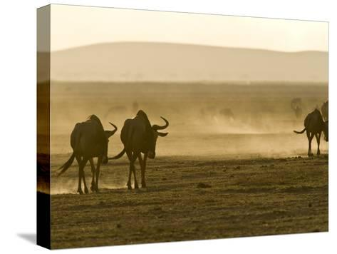 Backlit View of Wildebeests Walking Away-Michael Polzia-Stretched Canvas Print