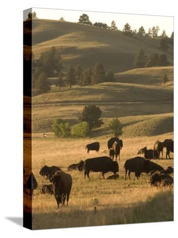 Bison Grazing in Custer State Park, South Dakota-Phil Schermeister-Stretched Canvas Print