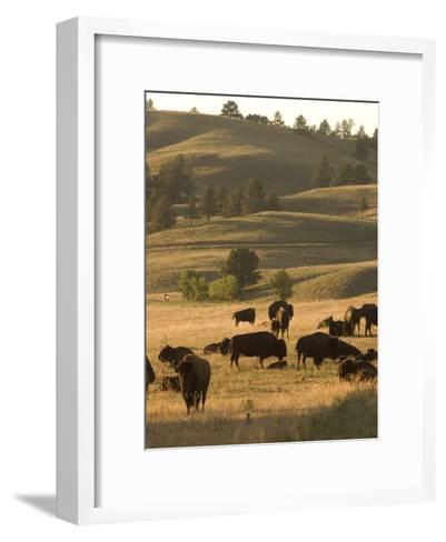 Bison Grazing in Custer State Park, South Dakota-Phil Schermeister-Framed Art Print
