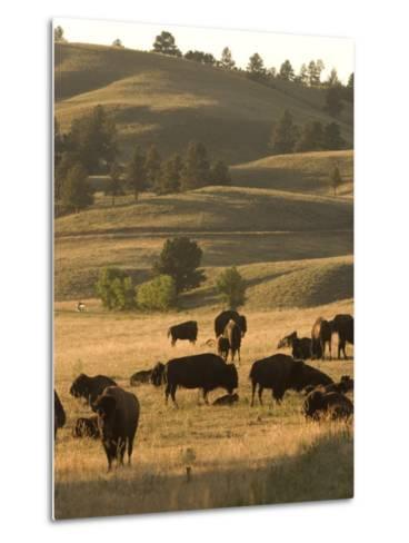 Bison Grazing in Custer State Park, South Dakota-Phil Schermeister-Metal Print