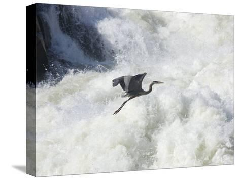 Great Blue Heron Flies over the White Water at Great Falls Park-Skip Brown-Stretched Canvas Print