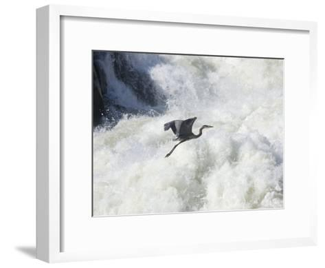 Great Blue Heron Flies over the White Water at Great Falls Park-Skip Brown-Framed Art Print
