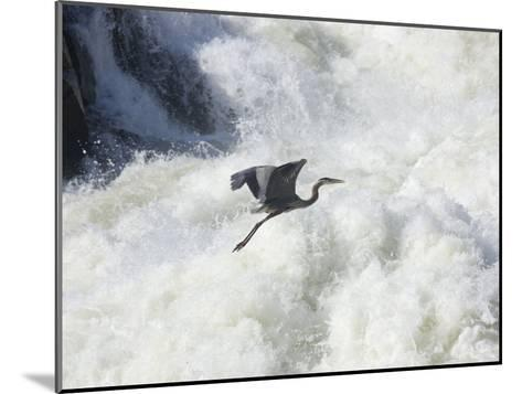 Great Blue Heron Flies over the White Water at Great Falls Park-Skip Brown-Mounted Photographic Print
