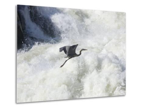 Great Blue Heron Flies over the White Water at Great Falls Park-Skip Brown-Metal Print