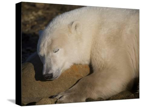 Polar Bear Sleeps on a Rock-Taylor S^ Kennedy-Stretched Canvas Print