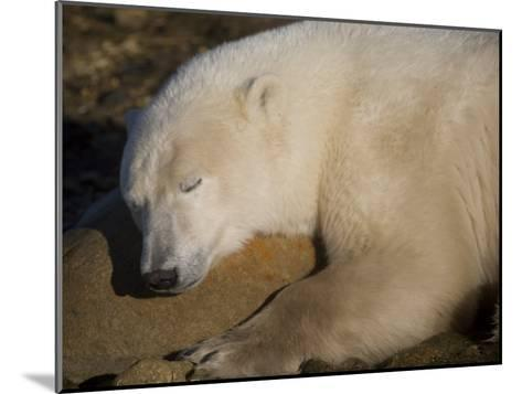 Polar Bear Sleeps on a Rock-Taylor S^ Kennedy-Mounted Photographic Print