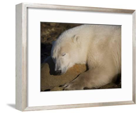 Polar Bear Sleeps on a Rock-Taylor S^ Kennedy-Framed Art Print
