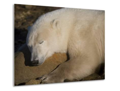 Polar Bear Sleeps on a Rock-Taylor S^ Kennedy-Metal Print