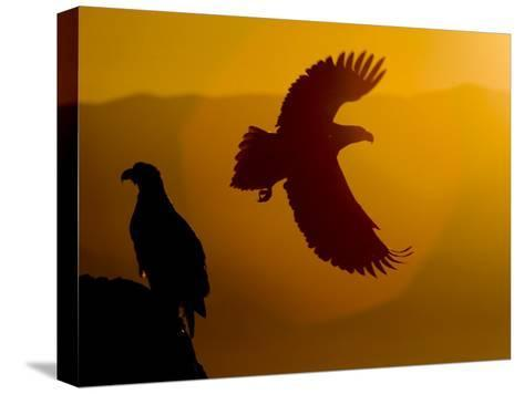 Silhouette of a Steller's Sea Eagle in Flight as the Sun Is Setting-Roy Toft-Stretched Canvas Print