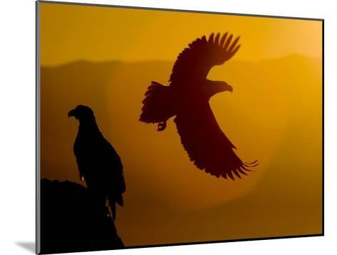 Silhouette of a Steller's Sea Eagle in Flight as the Sun Is Setting-Roy Toft-Mounted Photographic Print