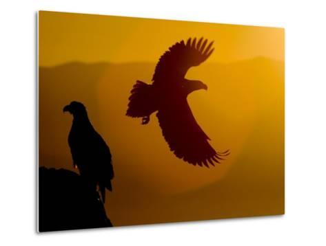 Silhouette of a Steller's Sea Eagle in Flight as the Sun Is Setting-Roy Toft-Metal Print