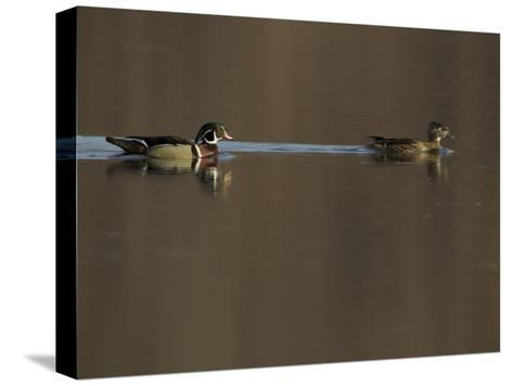 Wood Duck (Aix Sponsa) Pair on the Water-Tim Laman-Stretched Canvas Print