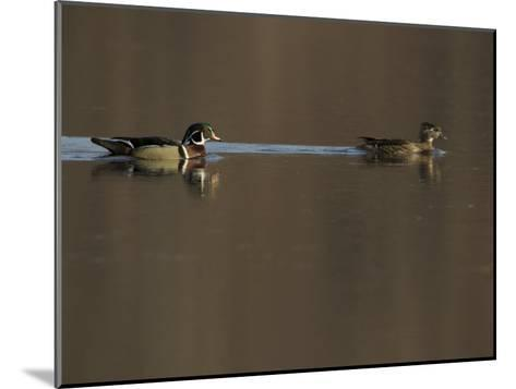 Wood Duck (Aix Sponsa) Pair on the Water-Tim Laman-Mounted Photographic Print