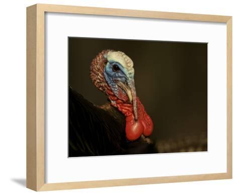 Tom, Wild Turkey (Meleagris Gallopavo) Male, Struts for Females-Tim Laman-Framed Art Print
