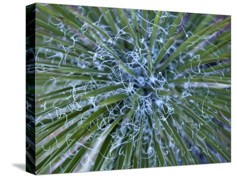 Detail of a Yucca Plant in the Needles District of Canyonlands-Scott Warren-Stretched Canvas Print