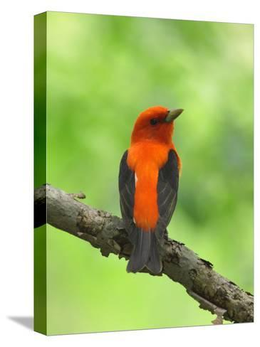 Scarlet Tanager, Piranga Olivacea, Perched on a Tree Branch-George Grall-Stretched Canvas Print