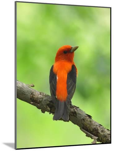 Scarlet Tanager, Piranga Olivacea, Perched on a Tree Branch-George Grall-Mounted Photographic Print