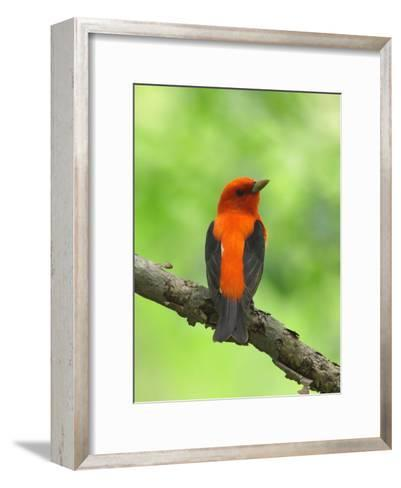 Scarlet Tanager, Piranga Olivacea, Perched on a Tree Branch-George Grall-Framed Art Print