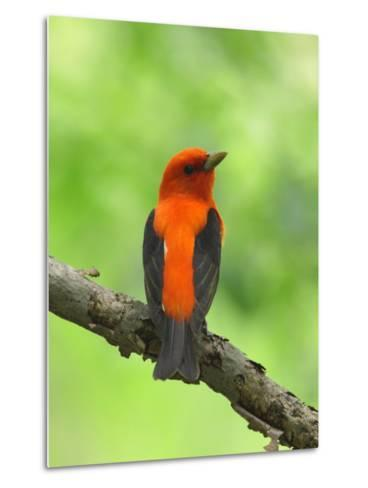 Scarlet Tanager, Piranga Olivacea, Perched on a Tree Branch-George Grall-Metal Print