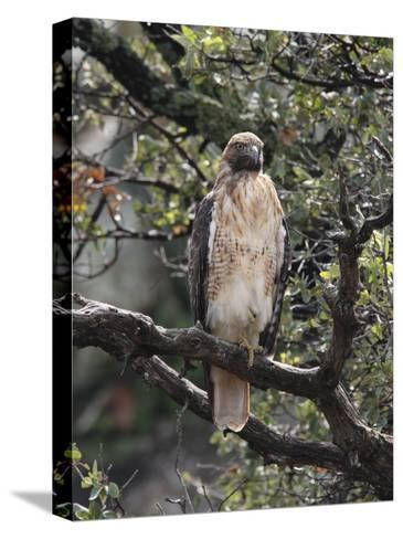 Immature Red Tail Hawk, Buteo Jamaicensis, Perched on a Branch-George Grall-Stretched Canvas Print