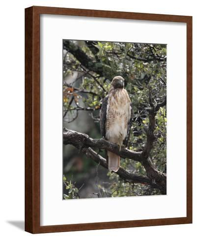 Immature Red Tail Hawk, Buteo Jamaicensis, Perched on a Branch-George Grall-Framed Art Print