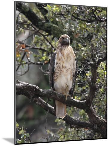 Immature Red Tail Hawk, Buteo Jamaicensis, Perched on a Branch-George Grall-Mounted Photographic Print